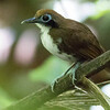 We find Bicolored Antbird at marauding army ant swarms. Photo by guide Tom Johnson.