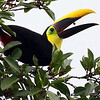 Participant Bill Byers caught this Yellow-throated Toucan in mid fruit-toss as it fed.