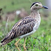 Double-striped Thick-knee photographed by participant Bill Byers.