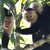 These White-faced Capuchins weren't quite sure about us...and the feeling was a bit mutual. Photo by participant Bill Byers.