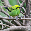 The fabulous Emerald Tanager! Go southward into South America and it's replaced by the similarly patterned Golden Tanager. Photo by participant Charlotte Byers.