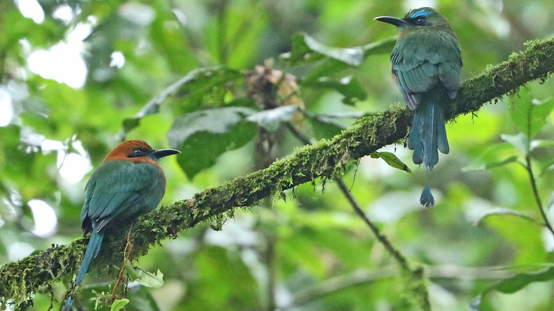 A rare sighting: two species of motmots on one branch! Broad-billed at left, and Keel-billed at right...cool! Photo by participant Charlotte Byers.