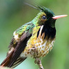 A fine head shot of a tiny but elegant male Black-crested Coquette hummingbird. Photo by participant Bill Byers.