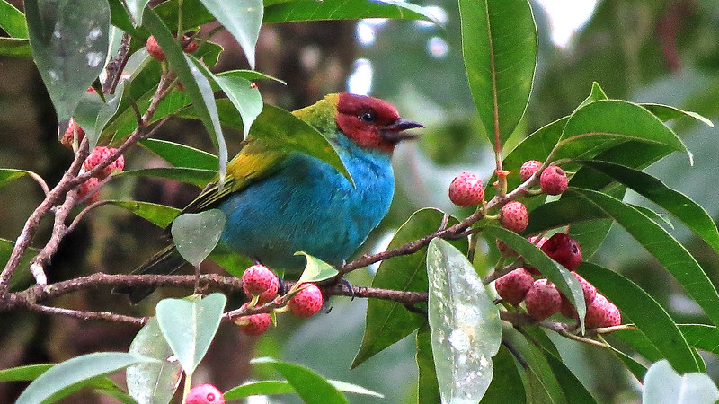 Even with a blue breast, this Bay-headed Tanager blends into this fruiting branch very well! Photo by participant Alan Orr.