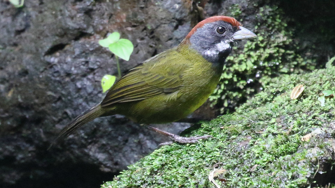 Rarely do we get to see Sooty-faced Finch this well! It's another species restricted to Costa Rica and westernmost Panama. Photo by participant Bill Byers.