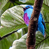 Brilliant against the greenery: a male Turquoise Cotinga, photographed by participant Alan Orr.