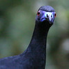 Sinister? Goofy? Can't quite tell with this goggle-eyed Black Guan, but it's a wonderful photo by participant Pam Gunn, anyway!