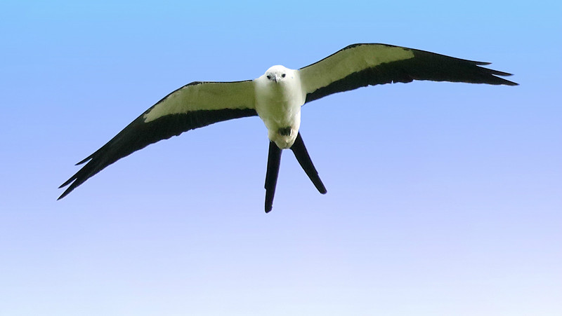 Swallow-tailed Kite is among the most graceful and elegant of raptors. Photo by participant Bill Byers.