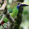 Emerald Toucanet: This photo by participant Bill Byers shows nicely why the subspecies in Costa Rica is also called Blue-throated Toucanet.