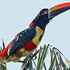The oh-so-aptly named Fiery-billed Aracari -- a great bird restricted to the Pacific slope of Costa Rica and w. Panama. Photo by participant Bill Byers.