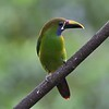 Blue-throated Toucanet by participant Woody Gillies