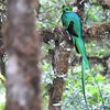 Resplendent Quetzal by guide Jesse Fagan