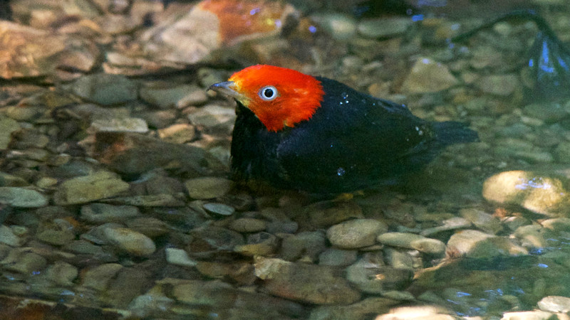 Red-capped Manakin at a bathing pool, by guide Cory Gregory