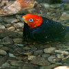 Red-capped Manakin at a bathing pool by guide Cory Gregory