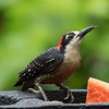 Black-cheeked Woodpecker by participant Lewis Purinton