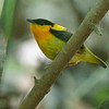 Orange-collared Manakin by guide Cory Gregory
