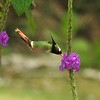 White-crested Coquette by guide Jesse Fagan