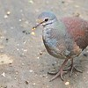 Buff-fronted Quail-Dove by guide Doug Hitchcox