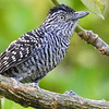 Barred Antshrike by participant Jan Wood