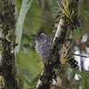 Barred Antshrike by participant Lewis Purinton