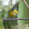 Silver-throated Tanager by participant Lewis Purinton
