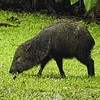 Collared Peccary at La Selva by guide Jesse Fagan