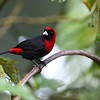 Crimson-collared Tanager by participant Woody Gillies