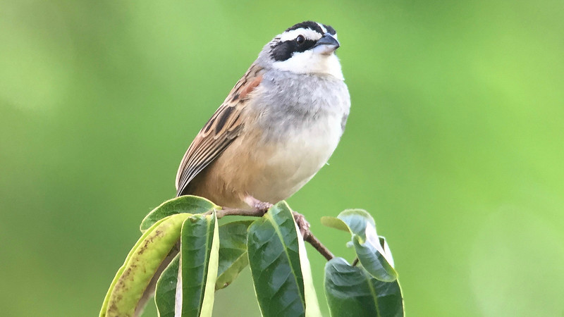 Stripe-headed Sparrow by guide Cory Gregory