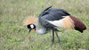 Gray Crowned-Crane is one of the most amazingly adorned birds...wow! Photo by participant Jody Gillespie.