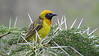 Speke's Weaver, just one variation on the diverse weaver theme in Africa. Photo by participant Jody Gillespie.