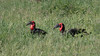 Huge Southern Ground-Hornbills typically forage in pairs. Photo by participant Jody Gillespie.