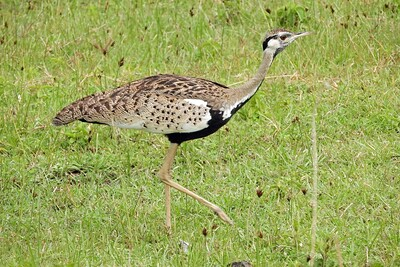 Black-bellied Bustard in the Ngorongoro by guide Terry Stevenson