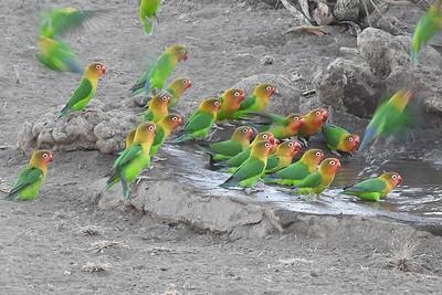 Fischer's Lovebirds by participant Jean Rigden