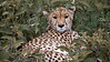 Cheetah by participant Jody Gillespie