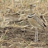 Double-banded Courser by guide Terry Stevenson