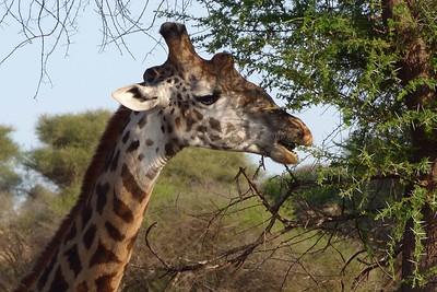 Rothschild's Giraffe by participant Mary Krentz