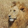 Lion by guide Terry Stevenson