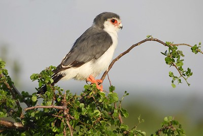 Pygmy Falcon by guide Terry Stevenson