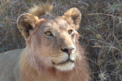 Young Lion in the Serengeti by participant Mary Krentz