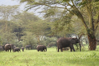 Elephants among the Yellow-barked Acacias by guide Terry Stevenson