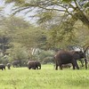 African Elephants in Yellow-barked Acacia forest by guide Terry Stevenson