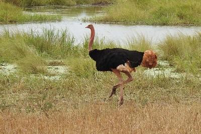 Ostrich by participant Jean Rigden