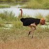 Common Ostrich by participant Jean Rigden
