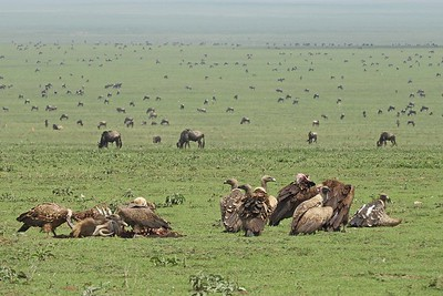 Vultures feeding with Wildebeest by guide Terry Stevenson