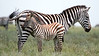 Grevy's Zebra with young by participant Jody Gillespie