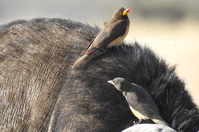 Yellow-billed Oxpecker by participant Jean Rigden