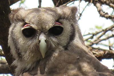 Verreaux's Eagle-Owl by participant Craig Caldwell