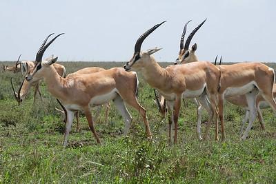 Grant's Gazelles by guide Terry Stevenson