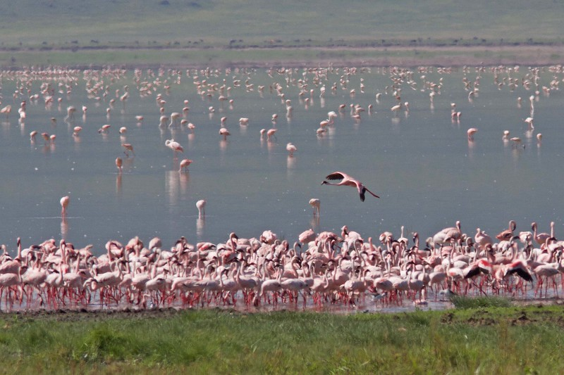Lesser Flamingos in Ngorongoro Crater by participant Ken Havard