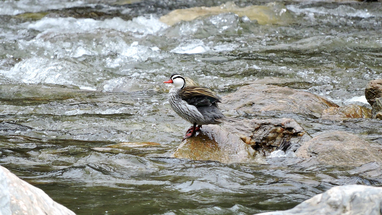 A male Torrent Duck, photographed by guide Willy Perez.